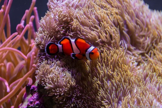Seattle Aquarium : Clownfish