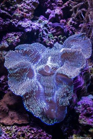 Seattle Aquarium : Giant clam