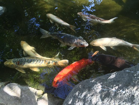 Catamaran Resort Hotel and Spa: Koi ponds