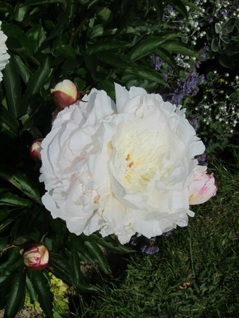 Cloth Hall Oast B&B: Peony in bloom