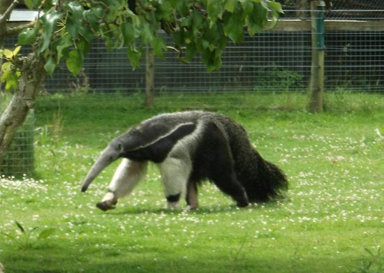 Howletts Wild Animal Park: Children will love the starnge looking anteater