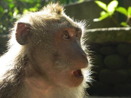 Maya Ubud Resort & Spa: go to the monkey forest in the late afternoon for good photos!