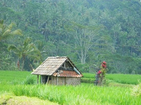 Maya Ubud Resort & Spa: rice fields are beautiful!