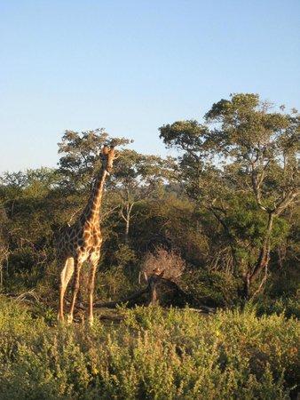 Mabula Game Lodge: giraf