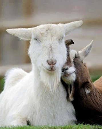 Stancija Kumparicka: goats in love
