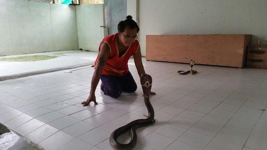 Crocodile & Snake Show Koh Chang: Monocled Cobra