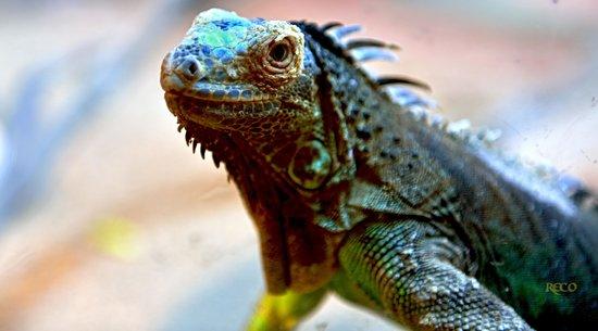 Izmir Wild Life Park: iguana