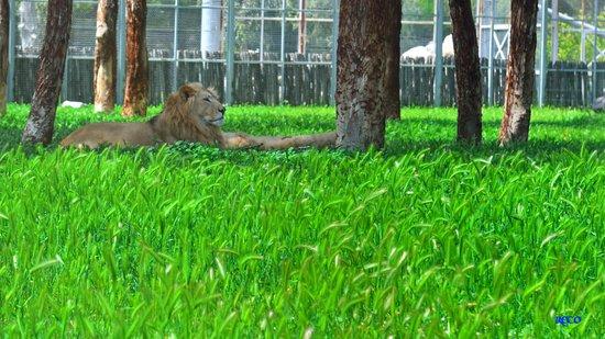 Izmir Wild Life Park: aslan