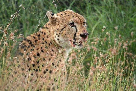 Ghost Mountain Inn: Cheetah on Safari Drive with Ghost Mountain Safaris