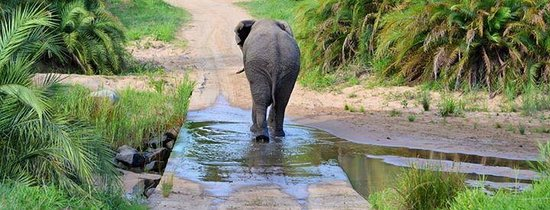 Ghost Mountain Inn: Elephant crossing on safari drive with Ghost Mountain Safaris