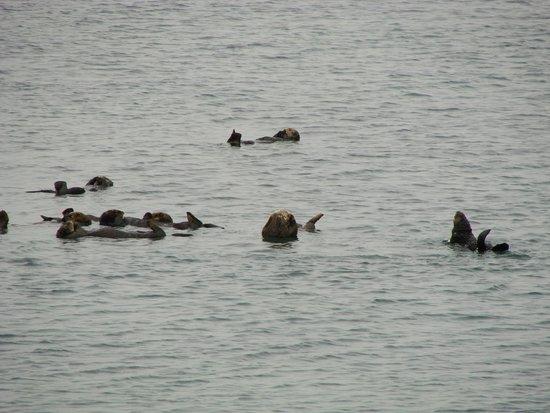 Moss Landing State Beach: 野生のラッコ