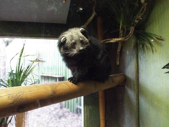Drusillas Park: The unusual Binturong or bear/cat