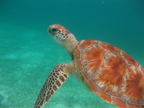 Kuredu Island Resort & Spa: Turtle