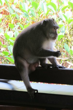 Bali Spirit Hotel and Spa: Visiting monkey on balcony