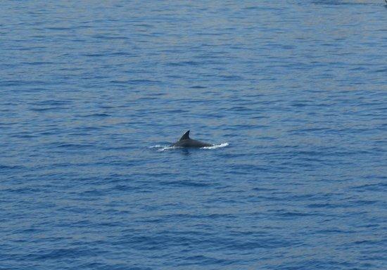 Kalithea Horizon Royal: Dolphin on a boat trip to Chalki (Booked via Thomson Rep)