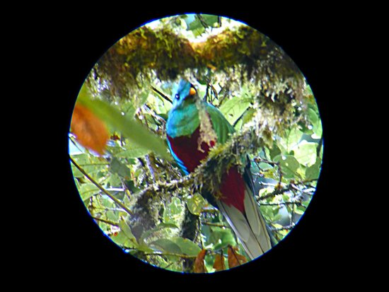 Trogon Lodge San Gerardo de Dota: quetzal through Greivin's telescoop