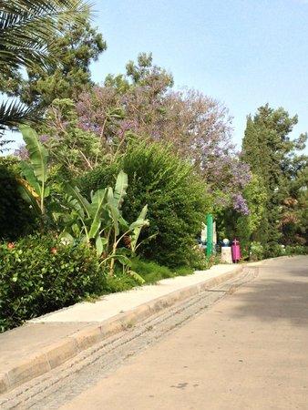 Hapimag Resort Sea Garden : One of the Jacaranda trees (
