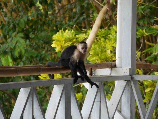 La Parcela: monkey at the porch
