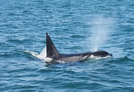 SpringTide Whale Watching & Charters : Orca