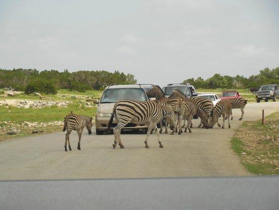 Natural Bridge Wildlife Ranch: baby zebra sighting