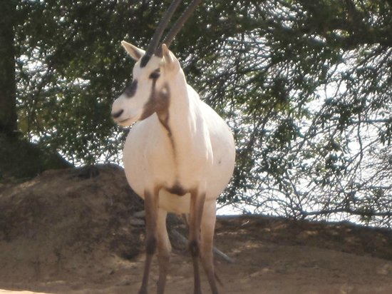 Al Maha, A Luxury Collection Desert Resort & Spa : Oryx come by to say hello and drink from the pool