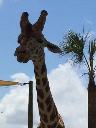 Naples Zoo at Caribbean Gardens : Hungry Giraffe at the feeding area