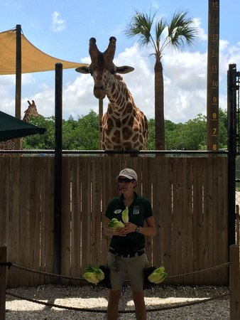 Naples Zoo at Caribbean Gardens : Zoo Keeper with Giraffe