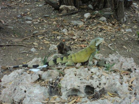 Santa Barbara Beach & Golf Resort, Curacao : Our friend the Iguana!