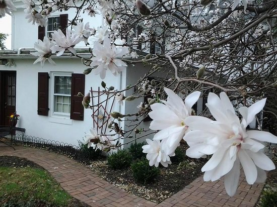 1777 Americana Inn Bed & Breakfast: Star Magnolia in full bloom!