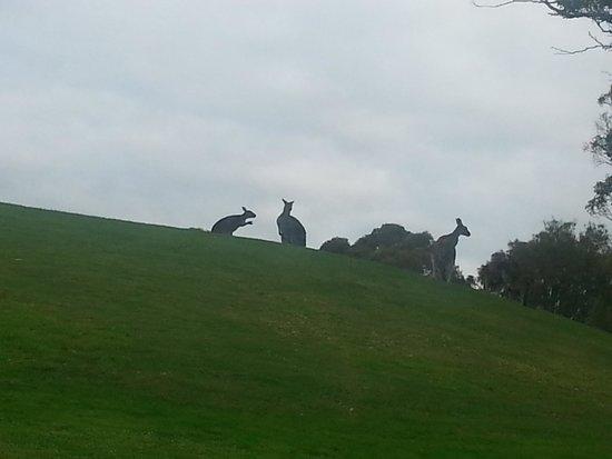 Wirrina Hotel & Golf Resort: kangaroos on the 17th green.