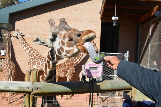 Cheyenne Mountain Zoo: My husband feeding the giraffe