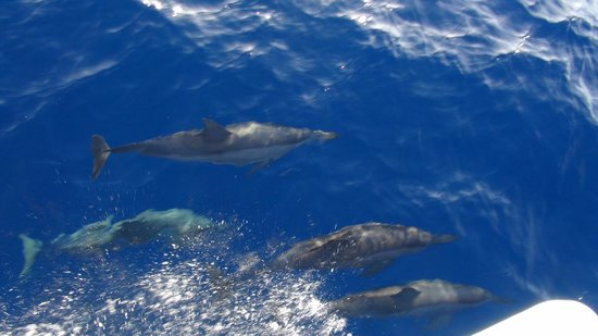 Shangri-La's Villingili Resort and Spa Maldives: Dolphins