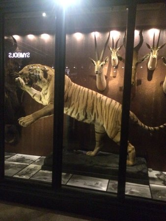 The Manchester Museum: Taxidermy tiger