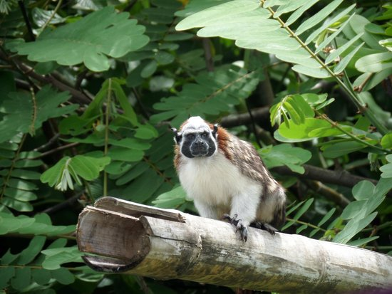 Gamboa Rainforest Resort Monkey Island Tour: Monkey Visitor