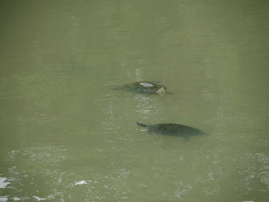 Gamboa Rainforest Resort Monkey Island Tour : Turtles