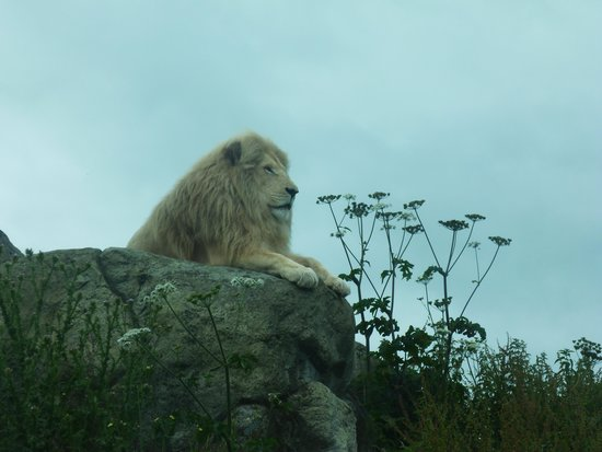 Isle of Wight Zoo: Lion