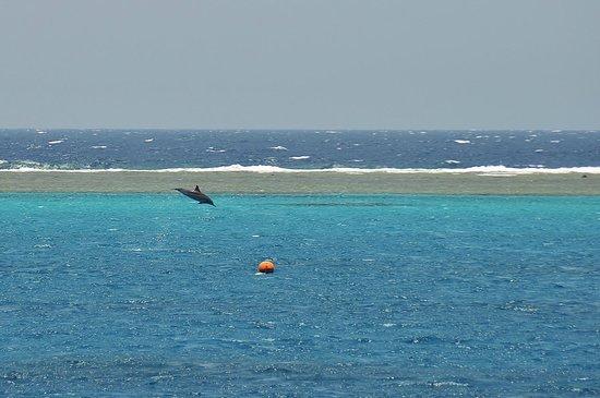 Dolphin House Reef (Sha'ab Samadai) : dauphin dans la zone interdite aux snorkeling (derrière les bouées)