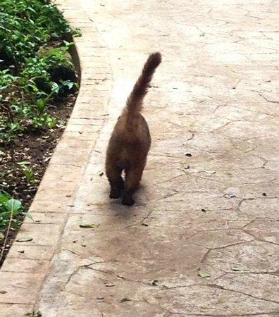 Iberostar Quetzal Playacar : I think this is a Coati