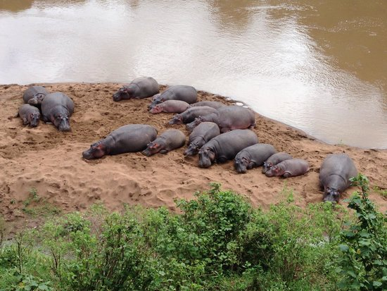 Governors' Il Moran Camp: Hippos sleeping at the bottom of the garden :-)