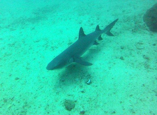 Aquacenter Diving: White Tip Reef Shark
