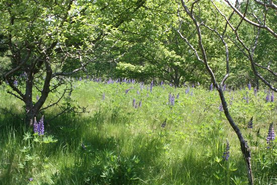 Bar Island Trails: Field of Lupine