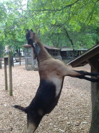 Winslow Farm Animal Sanctuary: Rango, one of the Nubian goats, on his hind legs!