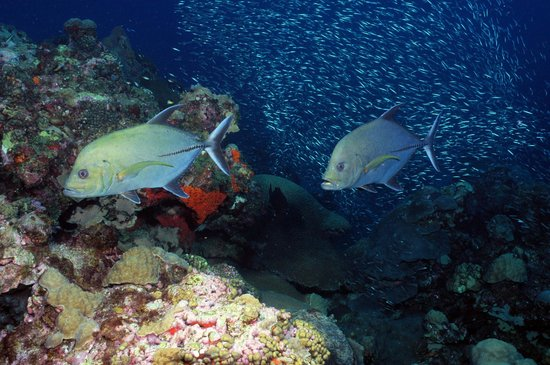 Flower Garden Banks National Marine Sanctuary: Two black jacks hunting along the reef (G.P. Schmahl, Flower Garden Banks NMS, NOAA)