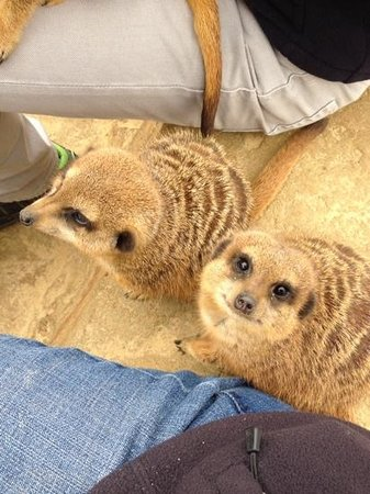 Woburn Safari Park: Meeting the Meerkats.