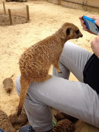 Woburn Safari Park: Up close with the Meerkats.