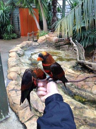 Woburn Safari Park: Greedy Dusky Lories feeding from pot of nectar.