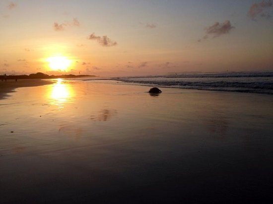 Galapagos Alternative: Isabela Island early in the morning - a turtle on its way to the ocean