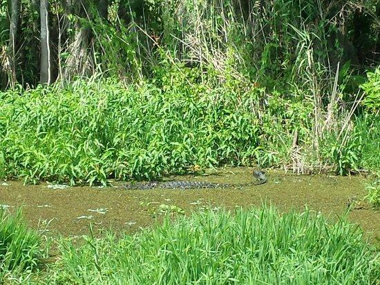 Blue Heron River Tours: Alligator