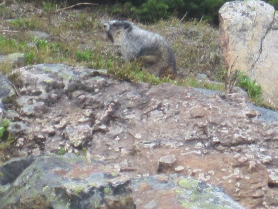 Canadian Rockies, Canada: hoary marmot looking for lunch