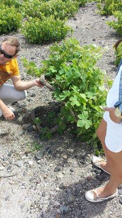 Santorini Wine Tour : Santorini Grape Vine